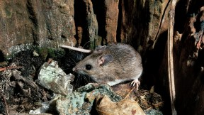 Humans lack a mouse's high tolerance for bacteria in the bloodstream, a clue that the two species have evolved very different responses to inflammatory disease.