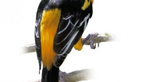 The Altamira oriole, a Texas resident, is America's largest oriole.