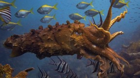 "Photograph of a giant cuttlefish, ""Sepia apama,"" at Cabbage Tree Bay, Australia: among Peter Godfrey-Smith's subjects for his research on cognition"