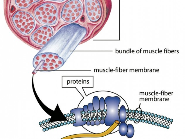 Dystrophin is one of a group of proteins that surround muscle fibers and keep them working properly. The protein's absence in DMD patients leads to loss of muscle function.