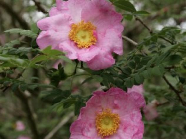 Chestnut Rose at Blithewold