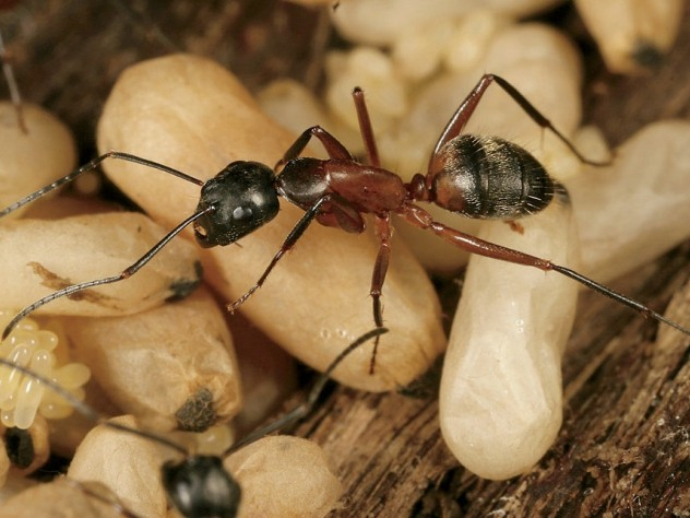 <i>Camponotus chromaiodes</i> (red carpenter ant), from <i>A Field Guide to the Ants of New England</i>
