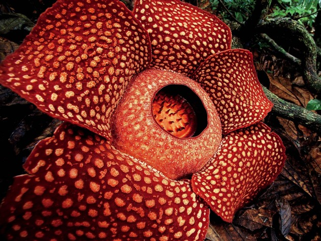 The Largest Flower In The World Is A Parasite Harvard