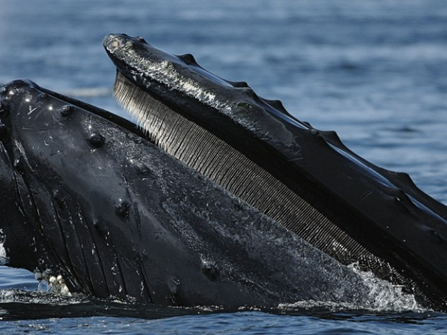 A humpback at the water's surface, where ships put the whales at risk.