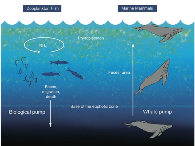 Roman's research demonstrated (center) that whales play a critical role in recycling oceanic nutrients because, unlike fish, they excrete waste at a level in the water column different from their preferred feeding zone.