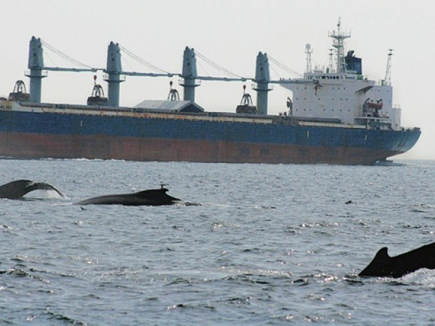 Yearly, some 2,000 large commercial vessels serving Boston harbor cross the Stellwagen Bank National Marine Sanctuary, intersecting with many whales.