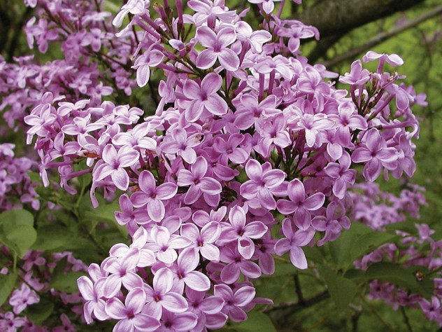 <i>Syringa</i> x <i>chinensis</i> 'Lilac Sunday', developed by the arboretum's plant propagator John H. Alexander III