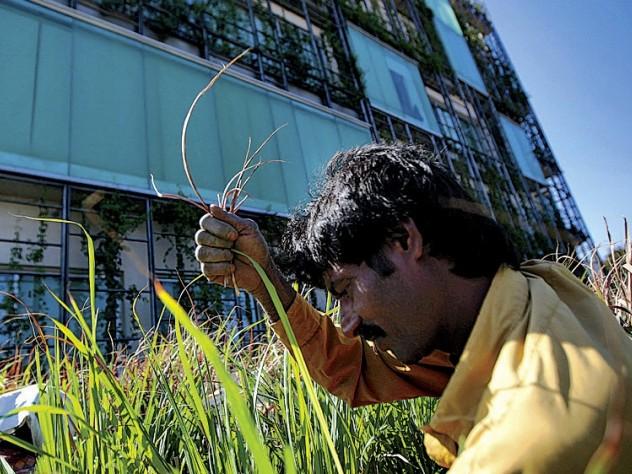 A worker trims lemongrass on the second-floor terrace.