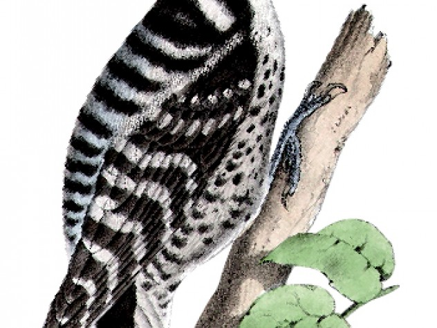 Nuttall's woodpecker, from a U.S. Department of the Interior boundary survey report's volume on birds, dated between 1857 and 1859