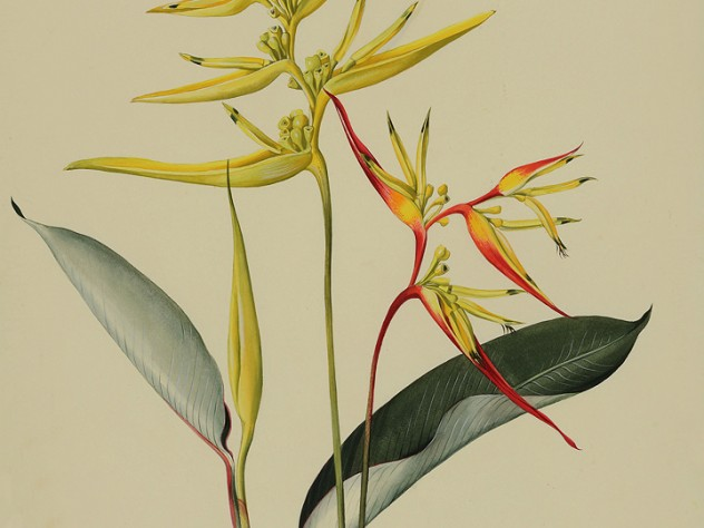 Margaret Mee painting of Heliconia