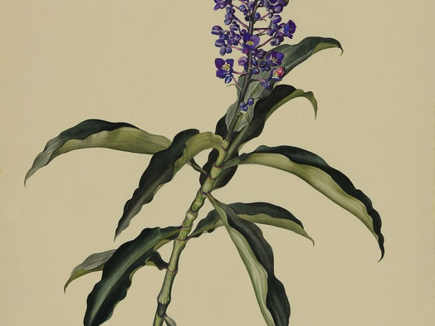 Margaret Mee painting of blue ginger