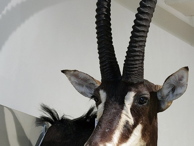 """A sable antelope displays its """"headgear"""" in the new exhibit at the Harvard Museum of Natural History."""