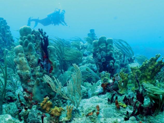 Pillar and other corals, Rhone Reef, British Virgin Islands, 2011