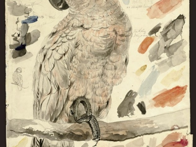 The Salmon-crested Cockatoo (<i>Plyctolophus rosaceus</i>), also appeared in Lear's book about parrots. Watercolor over graphite.