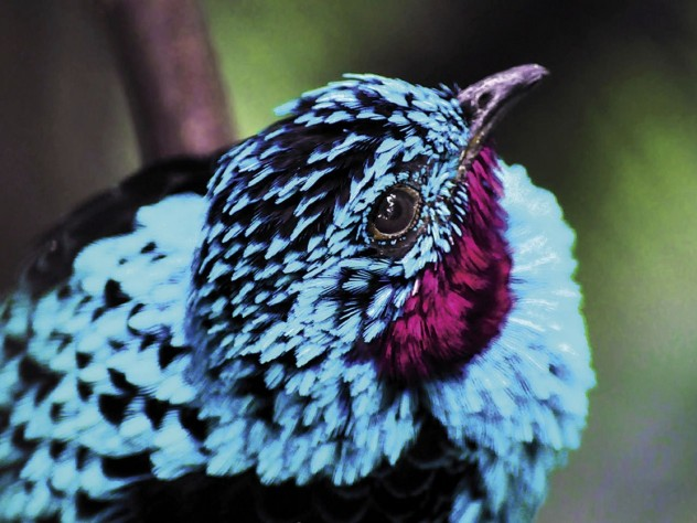 Inspired by the bright blue feathers of the cotinga, Harvard researchers are developing structural colors that mimic its hue.