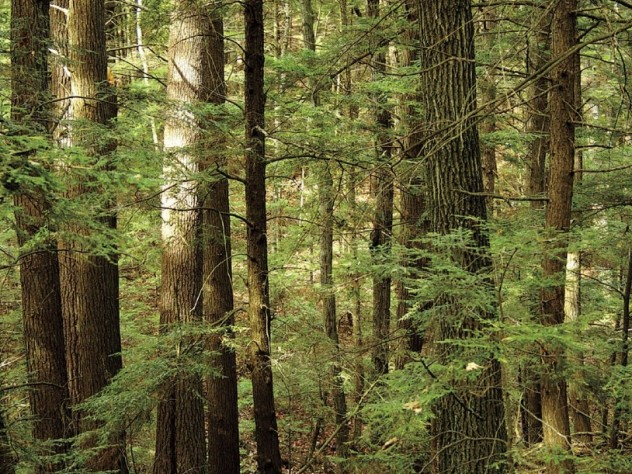 Eastern hemlocks at Harvard Forest's Slab City wildland