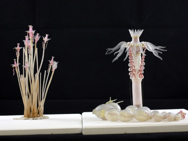Decades before they were commissioned to create Harvard's Glass Flowers, the Blaschkas were known for their glass sea creatures, made to exacting naturalistic detail.  They presented <i>Tubularia indivisa</i> both at life size (left) and with enlargements to show particular anatomical details. (MCZ SC119)