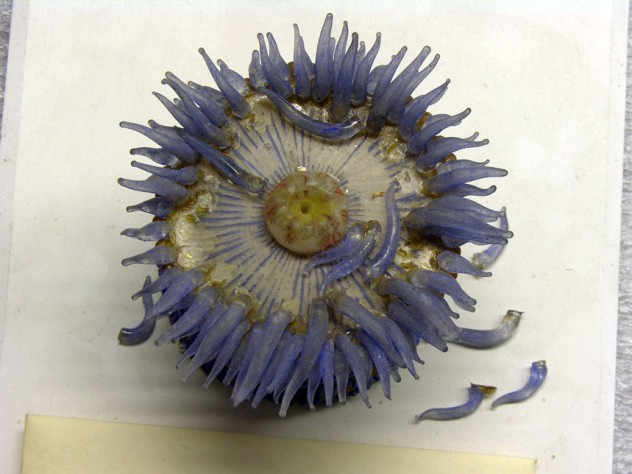 The restoration shed light on the Blaschkas' methods. The marine invertebrate models (here, another sea anemone) are made mostly of clear, painted glass and some colored glass, while the later botanical models made more use of colored glass. The Blaschkas likely made many parts, like tentacles, at once, assembling the models to order. (MCZ SC50, <i>Phymactis florida</i>)