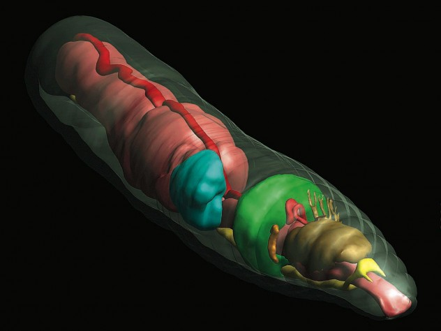 An earthworm rendered in 3D, with transparent outer skin to show the internal structures