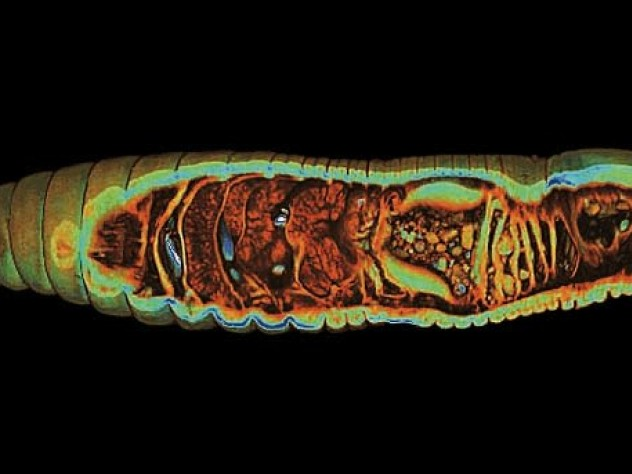 A still from a video shows the internal  the organs of an earthworm, including its four hearts, in blue.