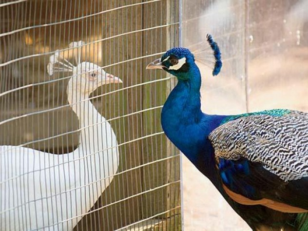 Peafowl commune at the aviary.