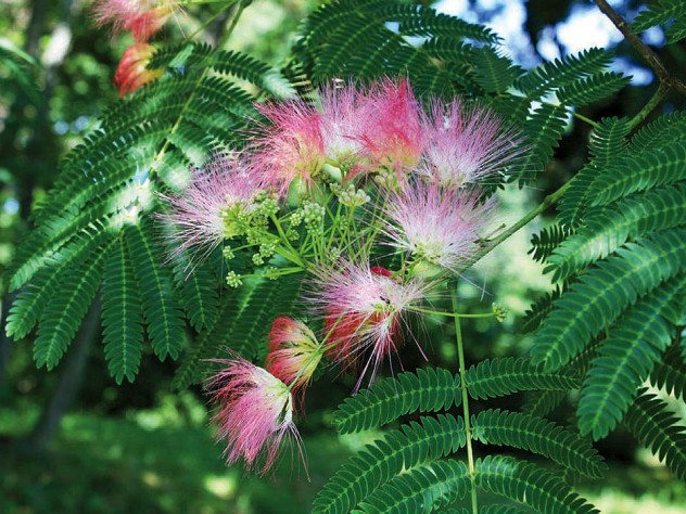 Pink blossoms of the mimosa tree