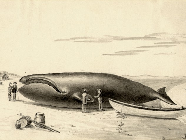 """The Whale was finally killed by a lance thrust, towed to the shore and left high and dry by the falling tide."""