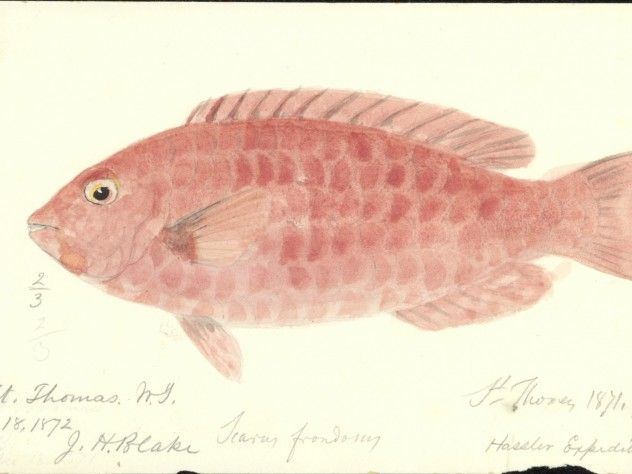 Blake's watercolor of a fish collected near St. Thomas on the 1871-1872 <i>Hassler</i> expedition.