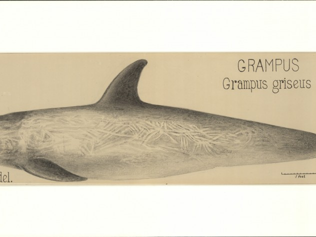 James Henry Blake's drawing of a grampus whale, now known commonly as Risso's Dolphin.