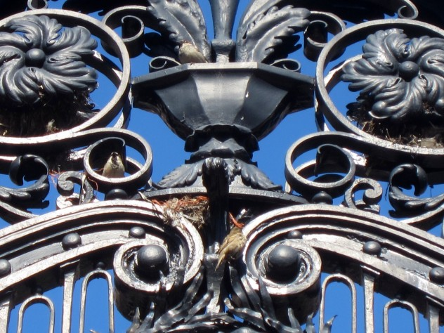 Sparrows build a nest amid the foliate ornament of the Morgan (Class of 1877) Gate along Massachusetts Avenue. The gate leads to the rear entrance of Widener Library.