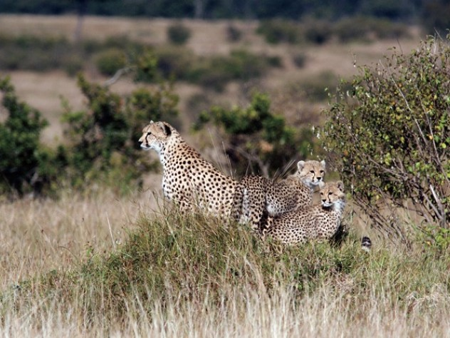 Termite mounds, seen here in Kenya's  Masai Mara as an oasis of green in a sea of brown, help support savanna biodiversity  at all levels, from tiny insects to this  family of cheetahs.