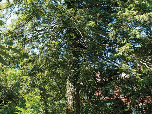 The age-old hemlock on the carriage way
