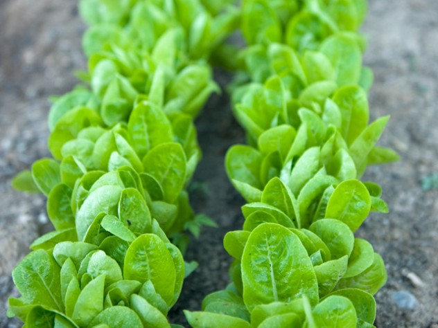Fresh baby lettuce, ready for its close-up
