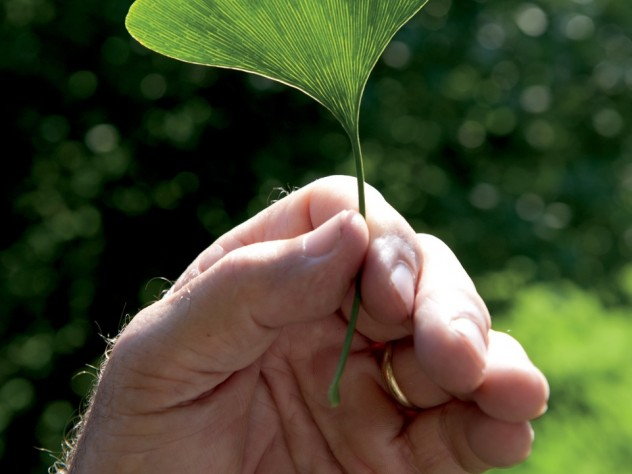 Peter Del Tredici holds a distinctly veined, fan-shaped leaf from a female <i>Ginkgo biloba</i> that he imported in 1983.