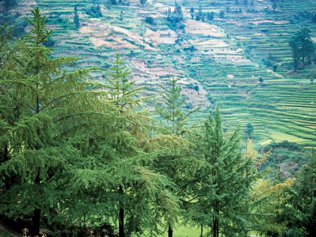 Ginkgo specimens in their ancestral setting: Shan Jiang village, Guizhou Province, in the People's Republic of China