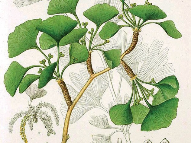 Ginkgo from <i>Flora Japonica</i> by Siebold and Zuccarini (1835-1842)