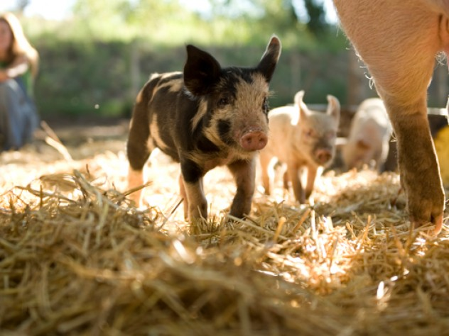 Composting piglets on Wade's farm