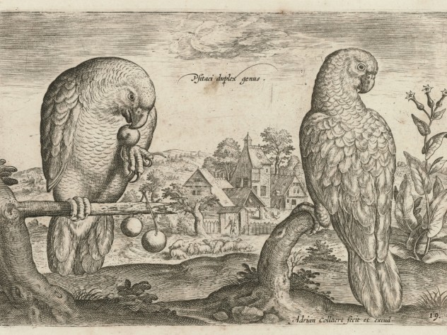 Adriaen Collaert, <i>Two Grey Red-Tailed Parrots</i> from the series <i>Living images of birds,</i> c. 1600. Engraving.