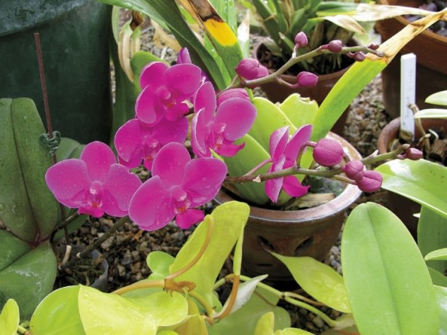 The Wellesley College greenhouses offer winter pleasures like this fuchsia moth orchid.