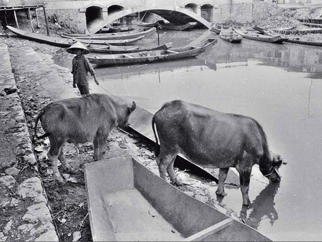 "Black and white photo, titled ""Cowherd,"" with cattle at a river"