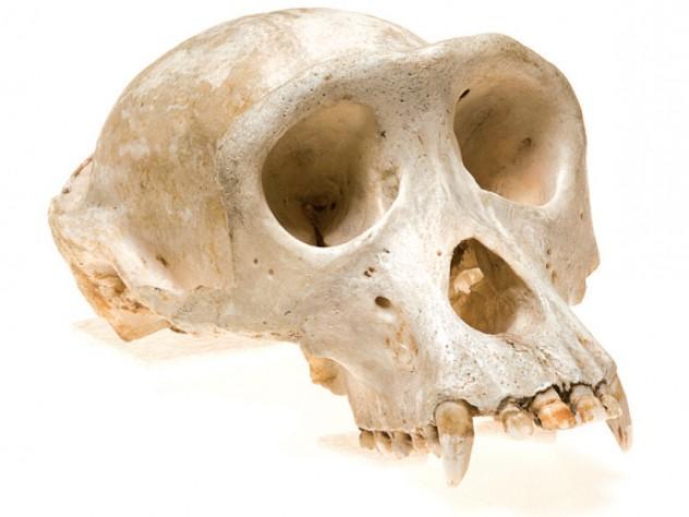 Common chimpanzee <i>(Pan troglodytes)</i>
