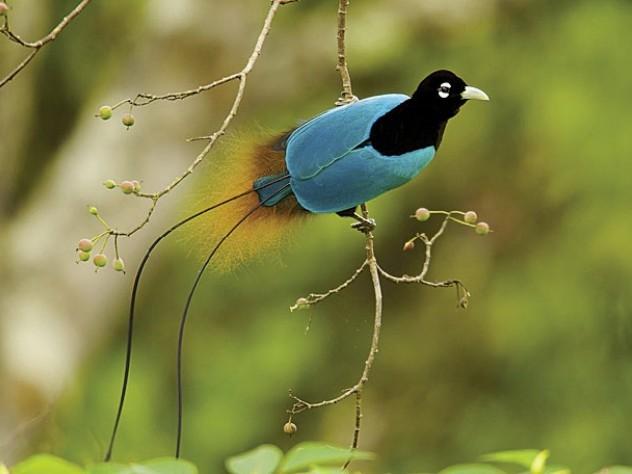 Blue Bird-of-Paradise, Tigibi, Tari area