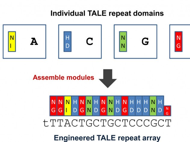 New genome-editing technologies use proteins called transcription activator-like effectors (TALEs), which have interchangeable, repeatable regions that match one of DNA's four nucleotides: adenine (A), thymine (T), guanine (G), and cytosine (C). By linking several DNA-binding domains, indicated by colored blocks, researchers can engineer proteins to target specific DNA sequences.
