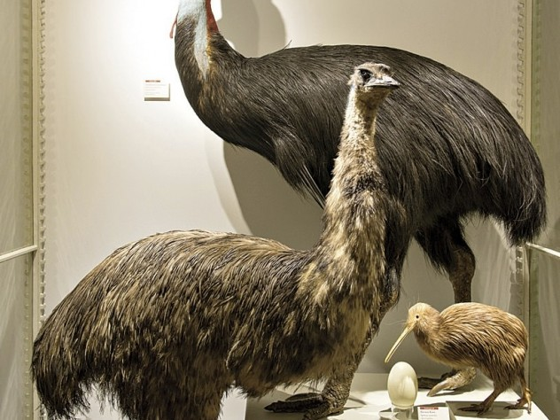 The massive Australian southern cassowary (in back) and emu dwarf a brown kiwi from New Zealand.