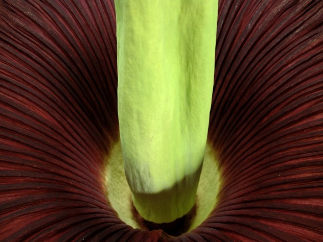 Detail of the fully open titan arum, photographed from above