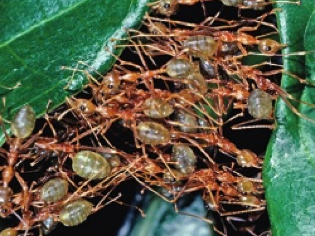 Weaver ants (<i>Oecophylla smaragdina</i>) cooperate as they construct their leaf-tent nests.