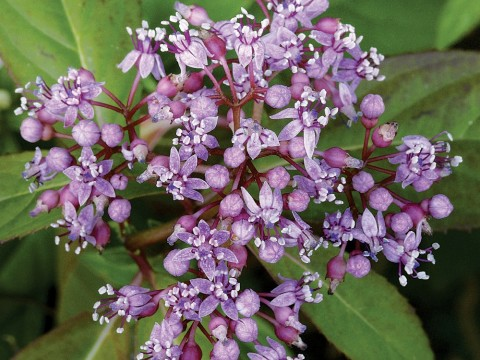 An extract of the blue evergreen hydrangea suppresses autoimmune reactions.