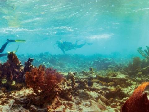 Elkhorn coral, Carysfort Reef South,  Florida, 2010