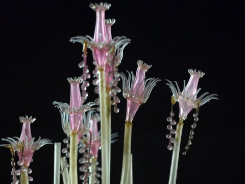 A new permanent exhibit at the Harvard Museum of Natural History showcases more than 50 glass models of marine invertebrates from the collections of the Museum of Comparative Zoology—models crafted by Leopold and Rudolf Blaschka, creators of the famous Glass Flowers. This model is <i>Tubularia indivisa</i>, or oaten pipes hydroid. (MCZ SC119)