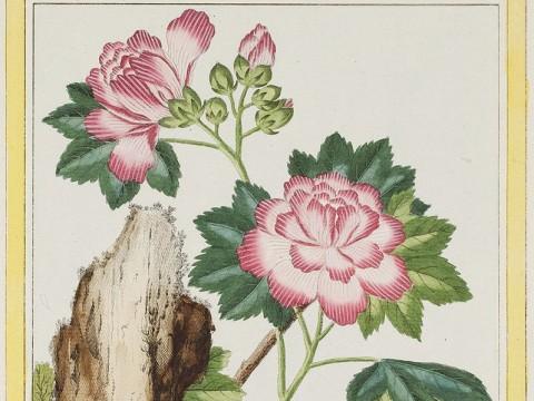Mallow, the work of Pierre Joseph Buc'hoz